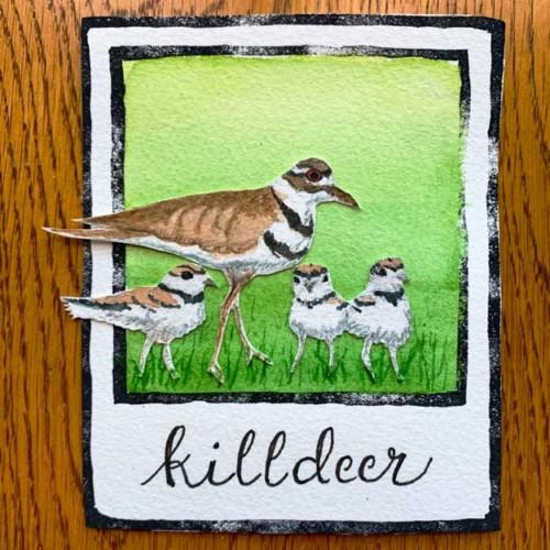 killdeer and chicks