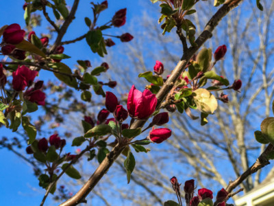 crabapple bloom