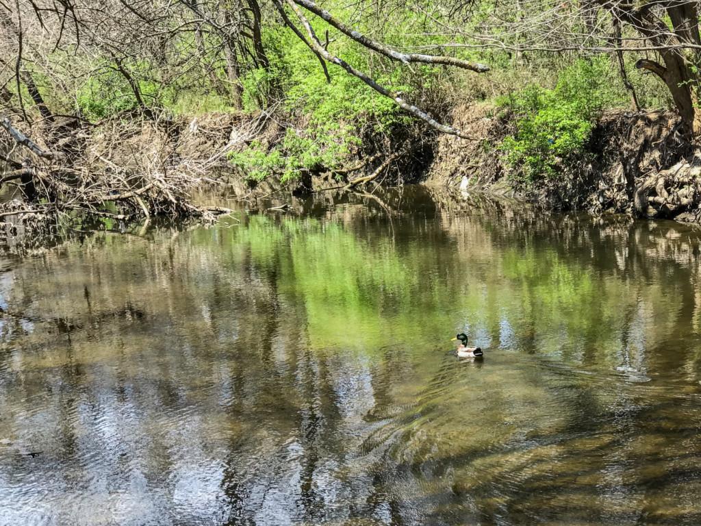 mallard swimming