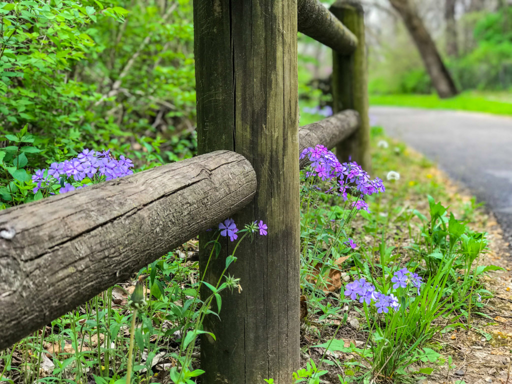 woodland phlox and fence