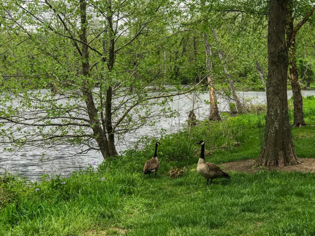 spring goslings